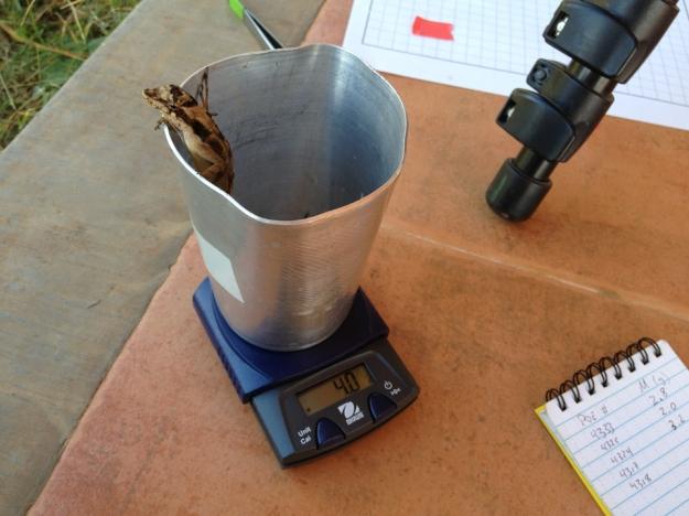 Taking data on Anolis lemurinus in Chiapas, México.