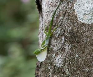 Anolis chloris dewlapping (and shedding) - Otongachi, Ecuador
