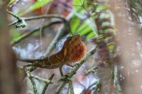 Anolis fowleri dewlapping - Ebano Verde, Dominican Republic