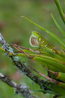 Anolis fowleri dewlapping - Ebano Verde, Dominican Republic (posed)