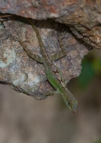Anolis rimarum - Plaisance, Haiti