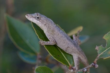 Anolis laeviventris - Chiapas, Mexico