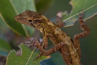 Anolis hobartsmithi - Coapilla, Mexico