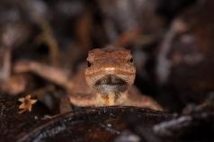 Anolis crassulus - San Cristobal, Mexico