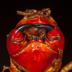 Massive centipede that Bryan Falk found for me - Barahona, Dominican Republic
