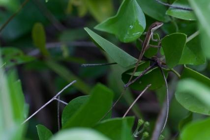 Anolis pulchellus - Vieques, Puerto Rico