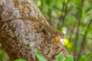 Anolis cristatellus - Vieques, Puerto Rico