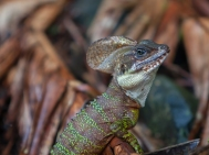 Basiliscus galeritus - Gorgona Island, Colombia