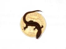 Lepidoblepharis intermedius - Gorgona Island, Colombia