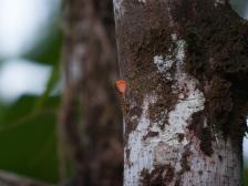 Anolis medemi - Gorgona Island, Colombia