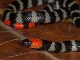 Micrurus mipartitus - Gorgona Island, Colombia