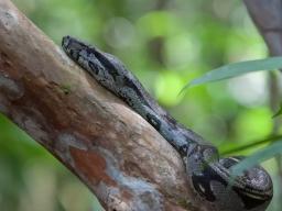 Boa constrictor - Gorgona Island, Colombia