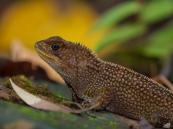 Enyalioides heterolepis - Gorgona Island, Colombia