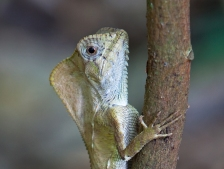 Corytophanes cristatus - La Selva, Costa Rica