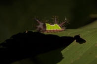 Caterpillar with parasite - Rio Palenque, Ecuador