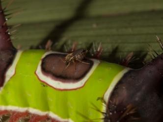 Caterpillar with parasite - Rio Palenque, Ecuador