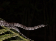 Sibon nebulata - Rio Palenque, Ecuador