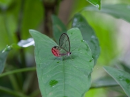 Clearwing butterfly - Rio Palenque, Ecuador