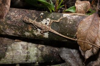 Anolis lyra - Rio Palenque, Ecuador