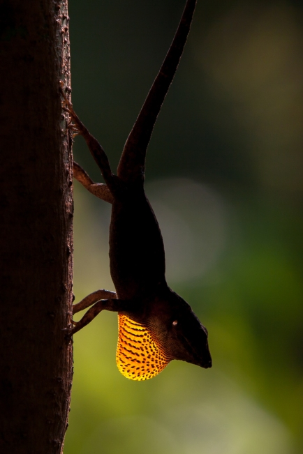 Anolis sagrei - near Annotto Bay, Jamaica