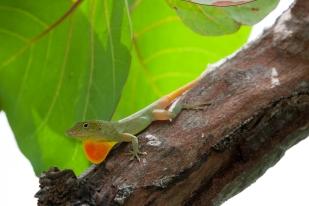 Anolis grahami - Annotto Bay, Jamaica
