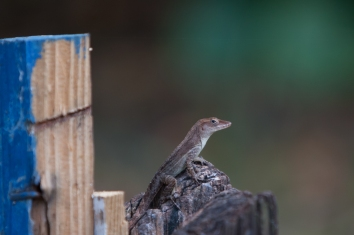 Anolis lineatopus - Circle B Ranch, Jamaica