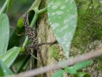Anolis peraccae - Rio Palenque, Ecuador